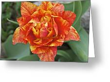 Mike's Hybrid Tulip Greeting Card