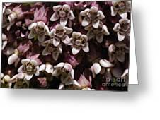 Milkweed Florets Greeting Card