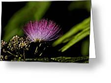 Mimosa Tree Bloom Greeting Card