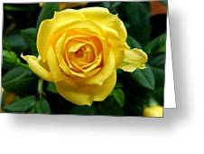 Miniature Yellow Rose Greeting Card