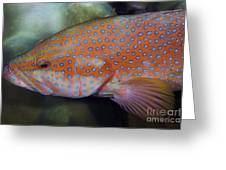 Miniatus Grouper - Cephalopholis Miniata Greeting Card