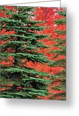 Minnesota Autumn Spruce Maple Greeting Card