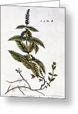Mint Plant, 1735 Greeting Card