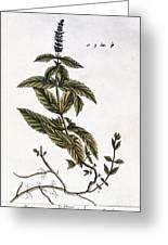 Mint Plant, 1735 Greeting Card