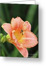 Miss Tinkerbell Daylily Greeting Card