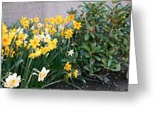 Mixed Daffodils Greeting Card