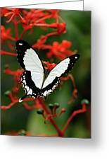 Mocker Swallowtail Greeting Card