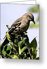Mockingbird On Berries Greeting Card