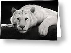Mohan The White Tiger Greeting Card