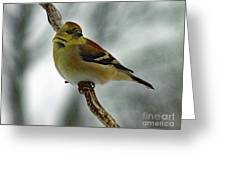 Molting In January? - American Goldfinch Greeting Card