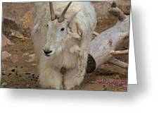 Molting Mountain Goat Greeting Card