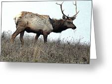 Molting Tomales Bay Elk Greeting Card