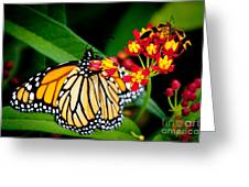 Monarch Butterfly At Lunch With 2 Box Elder Bugs Greeting Card