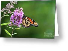 Monarch Butterfly On Butterfly Bush 2011 Greeting Card
