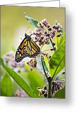 Monarch Butterfly On Milkweed Greeting Card