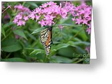 Monarch Butterfly On Pink Flowers  Greeting Card