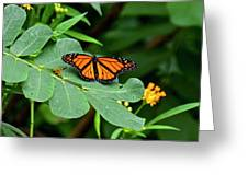 Monarch Butterfly Resting On Cassia Tree Leaf Greeting Card