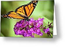 Monarch Moth On Buddleias Greeting Card by Carolyn Marshall