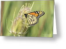 Monarch On A Thistle  Greeting Card