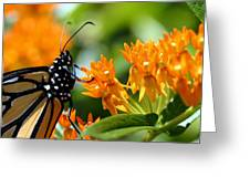 Monarch On Asclepias Greeting Card