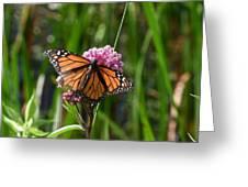 Monarch On Joe Pye Greeting Card
