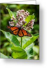 Monarch On Milk Weed Greeting Card