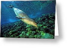 Monk Seal Dive Greeting Card