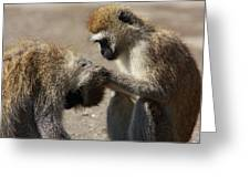 Monkeys Grooming Greeting Card