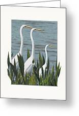 Montage With 3 Great White Egrets Greeting Card