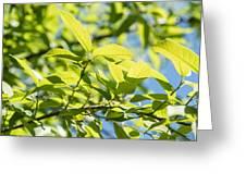 Monterrey Oak Leaves In Spring Greeting Card