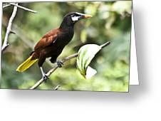 Montezuma Oropendula Greeting Card