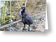 Moorhen Chick Greeting Card
