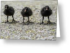 Moorhen Chicks Greeting Card