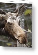 Moose - White Mountains New Hampshire Usa Greeting Card