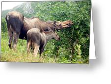 Moose And Calf Forage Greeting Card