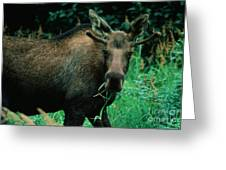 Moose At Lunch Greeting Card