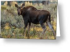 Moose Calf In Fall Colors Greeting Card