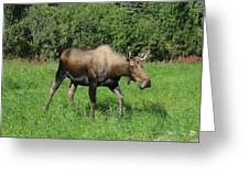 Moose Cow Grazing Greeting Card