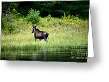Moose Cow Greeting Card