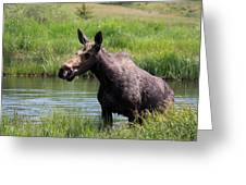 Moose In The Pond - 2 Greeting Card