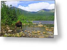 Moose Looking Back Sandy Stream Pond Greeting Card