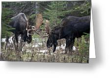 Moose. Males Fighting During The Rut Greeting Card