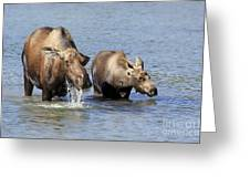 Moose Mama With Her Calf Greeting Card
