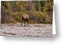 Moose Pawses In Mid-drink Greeting Card