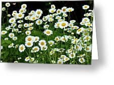 More Daisies  Greeting Card