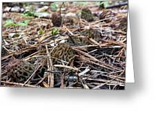 Morels A Plenty  Greeting Card