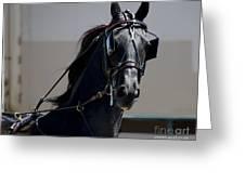 Morgan Horse Greeting Card