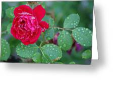 Morning Dew On A Rose Greeting Card