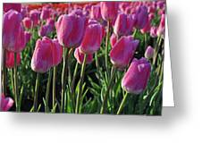 Morning Dew Tulips Greeting Card