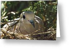 Morning Dove On Her Nest Greeting Card